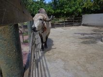 Toro Gir nel recinto per bestiame fotografia stock