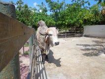 Toro Gir nel recinto per bestiame fotografie stock libere da diritti