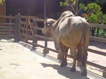 Toro Gir nel recinto per bestiame immagini stock libere da diritti