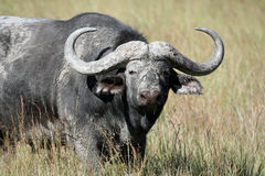 Toro grande del búfalo del cabo (caffer de Syncerus) Foto de archivo