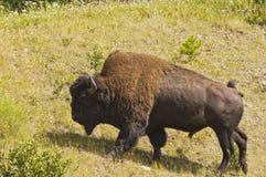 Toro grande del bisonte que pasta fotos de archivo