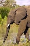 Toro grande del elefante Fotografía de archivo