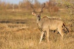 Toro grande del kudu con los cuernos hermosos que comen las hojas de una espina Imágenes de archivo libres de regalías
