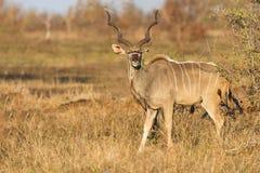 Toro grande del kudu con los cuernos hermosos que comen las hojas de una espina Fotos de archivo