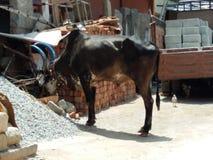 Toro indiano Immagine Stock