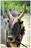 Toro indiano del sud del villaggio fotografia stock libera da diritti