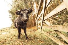 Toro infuriarsi immagine stock