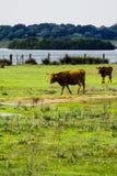 Toro isolato libero e selvaggio in un campo fotografie stock