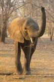 Toro joven del elefante africano (africana del Loxodonta) Imagen de archivo libre de regalías