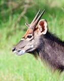 Toro joven del Nyala Imagen de archivo libre de regalías