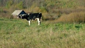 Toro joven que pasta en prado cerca de granja metrajes