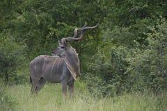 Toro magnifico di kudu (strepsiceros del Tragelaphus) fotografia stock