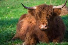 Toro marrón melenudo grande de los yacs que descansa sobre prado verde Foto de archivo libre de regalías