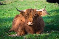 Toro marrón melenudo grande de los yacs que descansa sobre prado verde Imagenes de archivo