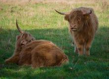 Toro marrón melenudo grande de los yacs que descansa sobre prado verde Imágenes de archivo libres de regalías