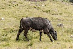 Toro marrón negro que pasta en las montañas austríacas de la reserva de naturaleza imagen de archivo libre de regalías