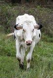Toro (mucca) che cammina attraverso un pascolo Fotografia Stock Libera da Diritti