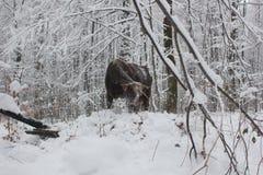 Toro in neve Fotografia Stock