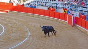Toro que lucha español herido en la arena de la tauromaquia Fotografía de archivo