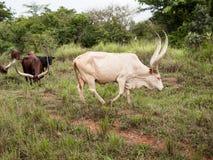 Toro raro de Ankole Watusi del albino con los cuernos grandes que pastan en el campo junto Fotografía de archivo libre de regalías