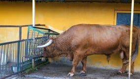 Toro scozzese dell'altopiano stock footage