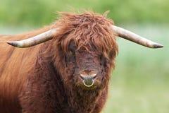 Toro scozzese dell'altopiano Fotografie Stock