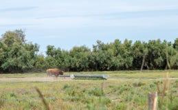 Toro selvagem naturalizado Parque france animal imagem de stock