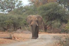 Toro solo dell'elefante che cammina giù una strada sabbiosa Immagine Stock Libera da Diritti