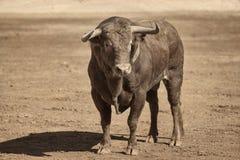 Toro spagnolo fotografie stock