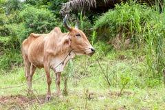 Toro tailandese della mucca Fotografia Stock