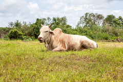 Toro tailandese della mucca Immagini Stock Libere da Diritti