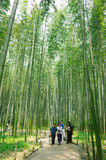 Torokko saga bamboo forest. Take the photo in Torokko saga on 1-May-2017 Royalty Free Stock Photo
