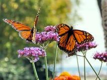 Toronto湖两在一朵紫色花的黑脉金斑蝶2017年 库存图片