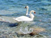 Toronto湖两天鹅2013年 库存图片