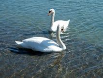 Toronto湖两天鹅2010年 库存图片