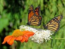 Toronto湖两黑脉金斑蝶和花2017年 免版税图库摄影