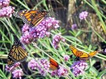 Toronto湖在马鞭草属植物的黑脉金斑蝶开花2013年 免版税库存图片