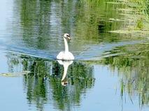 Toronto湖天鹅2016年 免版税库存照片
