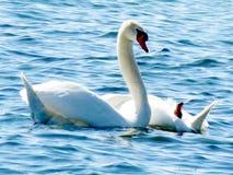 Toronto湖天鹅2013年 免版税库存照片