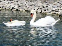 Toronto湖对白色天鹅2013年 图库摄影