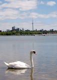 Toronto湖浮动天鹅2008年 免版税库存图片