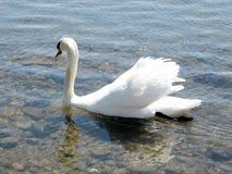 Toronto湖浮动白色天鹅2007年4月 免版税库存图片