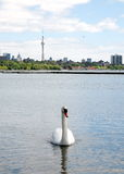 Toronto湖浮动白色天鹅2008年 库存图片