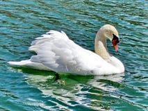 Toronto湖疣鼻天鹅2015年 免版税库存图片