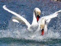 Toronto湖疣鼻天鹅2015年 库存照片