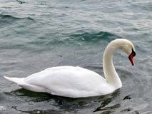 Toronto湖疣鼻天鹅2018年 库存图片