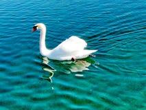 Toronto湖白色天鹅2013年 免版税库存照片