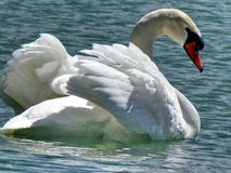 Toronto湖美丽的疣鼻天鹅2015年 免版税库存图片