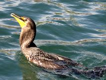 Toronto湖鸬鹚吞下了鱼2017年 免版税库存照片