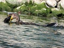 Toronto湖鸬鹚抓一条鱼2017年 库存图片